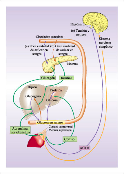 mejor ciclo esteroides para principiantes